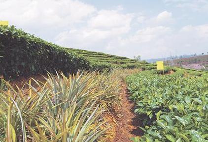 普洱茶乡见闻 茶园间种植的菠萝